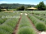 Matanzas Creek Lavender Field Photo © Alice Joyce