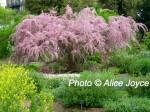 Chelsea Physic Tamarisk tree Photo © Alice Joyce