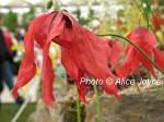 Kevock Meconopsis punicea  Photo © Alice Joyce