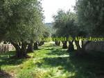 Kenzo Estate Landscape/ Olive treess / grass meadow Photo © Alice Joyce