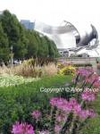 Cleome - Millennium Park Pritzker Pavilion Photo © Alice Joyce