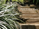 Worth Garden /Silver leaves and Steps Photo © Alice Joyce